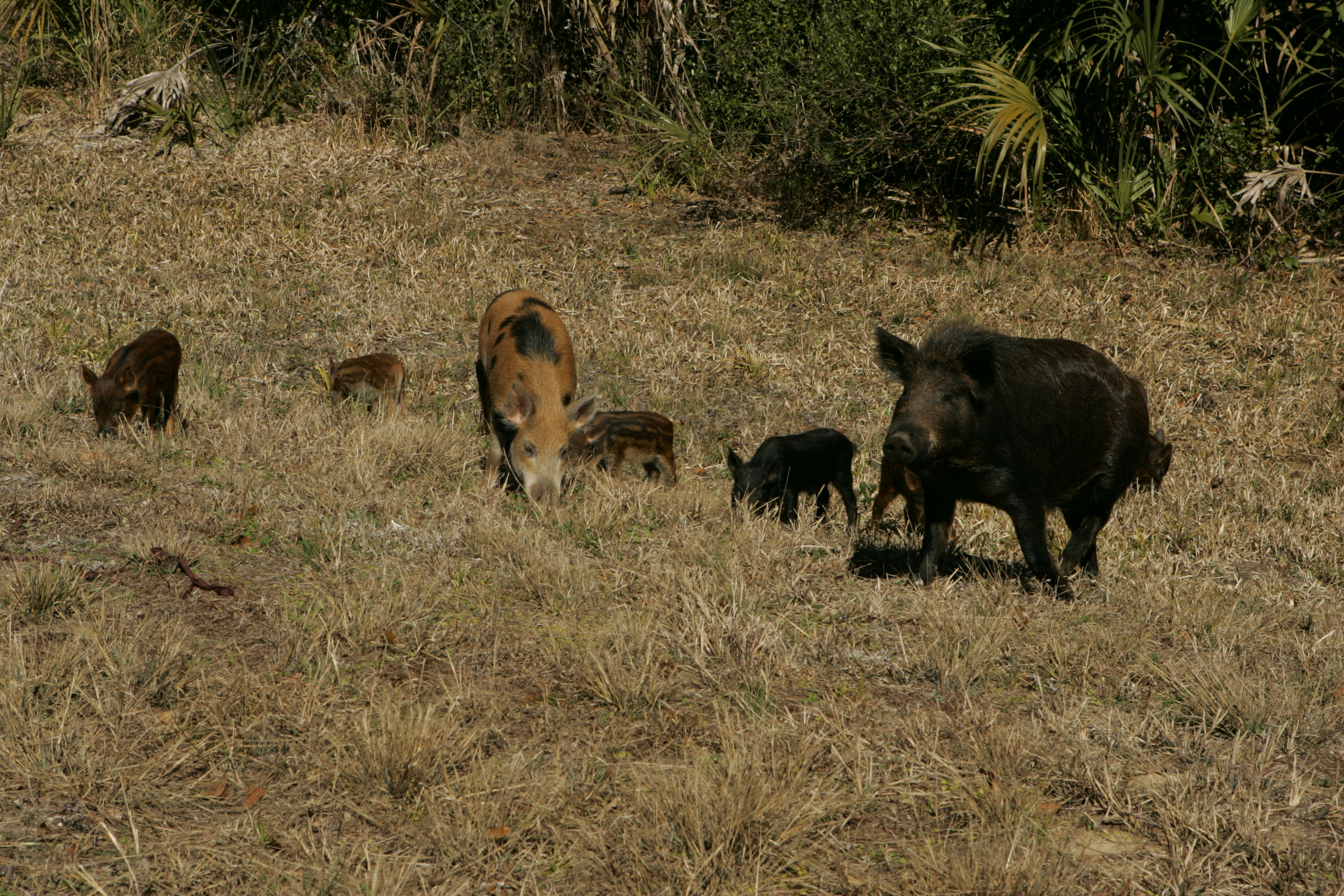 Night Vision Approved to Combat Feral Hogs